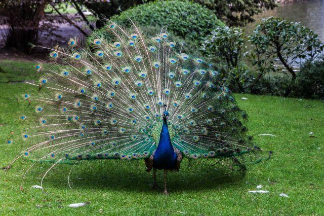 Pavo real campo de san francisco llego la primavera fotos de oviedo - Fotos de un pavo real ...