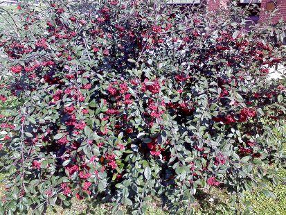 flores de Antroxu