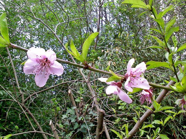 flor de piescal