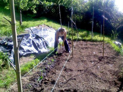 plantando fabes
