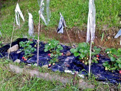 fresas ecologicas