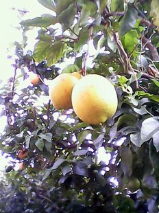 limones asturianos