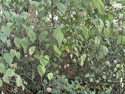 fruto de la Uchuva