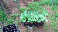plantas de fabes